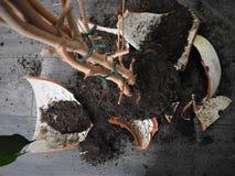 Σπασμένο δοχείο με τα πράσινα λουλούδια στο γκρίζο πάτωμα, γη, ρίζες στοκ φωτογραφία με δικαίωμα ελεύθερης χρήσης