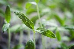 Σπορόφυτα ντοματών με τα σταγονίδια νερού στα φύλλα στοκ εικόνα