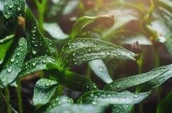 Σπορόφυτα πιπεριών με τα σταγονίδια νερού στα φύλλα στοκ φωτογραφίες με δικαίωμα ελεύθερης χρήσης