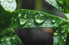 Σπορόφυτα πιπεριών με τα σταγονίδια νερού στα φύλλα στοκ φωτογραφία με δικαίωμα ελεύθερης χρήσης