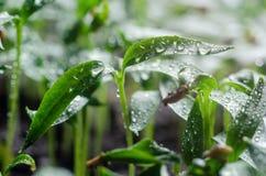 Σπορόφυτα πιπεριών με τα σταγονίδια νερού στα φύλλα στοκ εικόνα με δικαίωμα ελεύθερης χρήσης