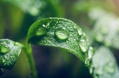 Σπορόφυτα πιπεριών με τα σταγονίδια νερού στα φύλλα στοκ εικόνες με δικαίωμα ελεύθερης χρήσης