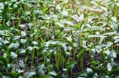 Σπορόφυτα πιπεριών με τα σταγονίδια νερού στα φύλλα στοκ εικόνα