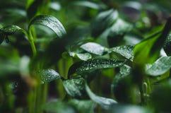 Σπορόφυτα πιπεριών με τα σταγονίδια νερού στα φύλλα στοκ φωτογραφία