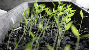 Σπορόφυτα πιπεριών, νέο φύλλωμα του πιπεριού, σπορόφυτα ανοίξεων Πιπέρι νεαρών βλαστών στοκ εικόνες