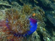 Ψάρια κλόουν ή τα ψάρια anemone Η ομορφιά του υποβρύχιου κόσμου που βουτά σε Sabah, Μπόρνεο στοκ εικόνες