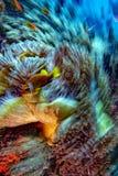 Ψάρια κλόουν επίδρασης κίνησης συστροφής μέσα στο κόκκινο anemone σε Malduve στοκ φωτογραφία με δικαίωμα ελεύθερης χρήσης