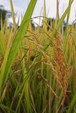 Ψεύτικη ασθένεια smut στο σιτάρι ρυζιού στοκ φωτογραφία με δικαίωμα ελεύθερης χρήσης