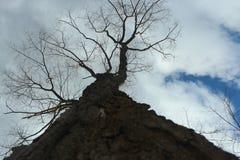 Ψηλό δέντρο σε ένα υπόβαθρο του μπλε ουρανού με τα σύννεφα στοκ εικόνα