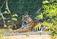Τίγρης που στηρίζεται σε ένα πάρκο στοκ εικόνες