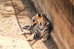 Τίγρη τιγρών που στηρίζεται κοντά σε έναν τοίχο στοκ φωτογραφία με δικαίωμα ελεύθερης χρήσης