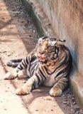 Τίγρη που στηρίζεται σε μια ηλιόλουστη ημέρα στοκ εικόνες
