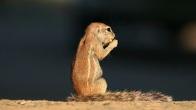 Ταΐζοντας επίγειος σκίουρος - έρημος της Καλαχάρης απόθεμα βίντεο