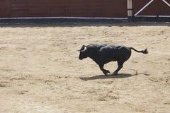 Ταύρος πάλης που τρέχει στο χώρο bullring Toro bravo στοκ φωτογραφίες με δικαίωμα ελεύθερης χρήσης