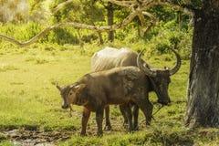 Ταϊλανδικοί βούβαλοι μητέρων και μωρών που στέκονται κάτω από το δέντρο στοκ εικόνες