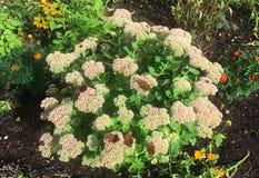Τα έντομα πεταλούδων κάθονται στα θερινά λουλούδια Φως του ήλιου, στοκ φωτογραφίες με δικαίωμα ελεύθερης χρήσης