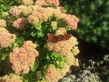 Τα έντομα πεταλούδων κάθονται στα θερινά λουλούδια Φως του ήλιου, στοκ εικόνες