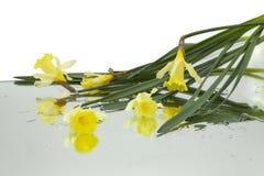 Τα κίτρινα daffodils απεικόνισαν στον καθρέφτη οριζόντια με τις πτώσεις του νερού στο άσπρο υπόβαθρο στοκ φωτογραφία με δικαίωμα ελεύθερης χρήσης