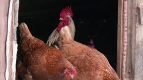 Τα κοτόπουλα σε ένα barnyard κοτέτσι κοτόπουλου, τα κοτόπουλα και οι κόκκορες σε ένα σπίτι καλλιεργούν φιλμ μικρού μήκους