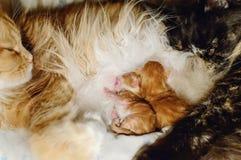 Τα νεογέννητα κόκκινα γατάκια απορροφούν το γάλα από μια γάτα Η οικογένεια γατών στοκ φωτογραφία με δικαίωμα ελεύθερης χρήσης