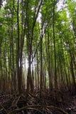 Τα δάση μαγγροβίων είναι πλούσια και ελαφρύς του ήλιου λάμπει κατευθείαν Για το φυσικό υπόβαθρο στοκ φωτογραφία