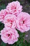 τα όμορφα λουλούδια ρόδι& στοκ εικόνα
