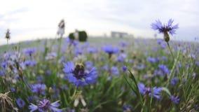 Τα όμορφα μπλε knapweed wildflowers λιβαδιών επικονιάζουν από μια πολυάσχολη μέλισσα στον τομέα θερινού ηλιοβασιλέματος χωρίς ανθ απόθεμα βίντεο