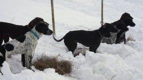 Τα σκυλιά του ευρο- κυνηγόσκυλου ή του ευρο- σκυλιού αναπαράγουν πριν από το σκυλί ελκήθρων που συναγωνίζεται και αγώνας skijor φιλμ μικρού μήκους