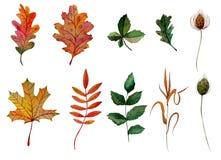 Τα στοιχεία Watercolor θέτουν στα φύλλα φθινοπώρου το δρύινο ashberry rosehip σφενδάμνου γραφείο λεπίδων κάστανων της χλόης απεικόνιση αποθεμάτων