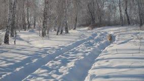 Τα τρεξίματα σκυλιών κατά μήκος της πορείας στο χειμερινό δασικό ευτυχές κατοικίδιο ζώο απόθεμα βίντεο