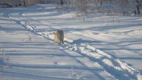 Τα τρεξίματα σκυλιών κατά μήκος της πορείας στο χειμερινό δασικό ευτυχές κατοικίδιο ζώο φιλμ μικρού μήκους