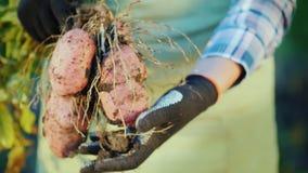 Τα χέρια αγροτών ` s κρατούν τους βολβούς πατατών Οργανικά προϊόντα από τον τομέα απόθεμα βίντεο