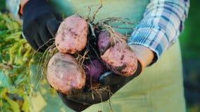 Τα χέρια της Farmer κρατούν τους βολβούς πατατών Οργανικά προϊόντα από το αγρόκτημα απόθεμα βίντεο