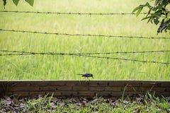 Τα πουλιά τρώνε τα σκουλήκια στο τουβλότοιχο με οδοντωτό - μουτζουρωμένος τομέας ορυζώνα ρυζιού υποβάθρου καλωδίων στοκ εικόνα με δικαίωμα ελεύθερης χρήσης