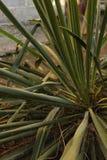 Τα πράσινα φύλλα φυτών Yucca αυξάνονται σε ένα κρεβάτι στο ναυπηγείο στοκ φωτογραφία