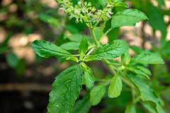 Τα lamiaceae λουλουδιών Lamiaceae είναι ένα χορτάρι στοκ εικόνες
