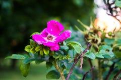 Τεμάχιο ενός πολύβλαστου rosehip θάμνου, που στερεώνεται πλουσιοπάροχα με τα ρόδινα λουλούδια κάτω από το χρυσό φως του ήλιου Αγά στοκ εικόνα με δικαίωμα ελεύθερης χρήσης