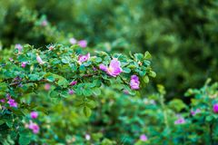 Τεμάχιο ενός πολύβλαστου rosehip θάμνου, που στερεώνεται πλουσιοπάροχα με τα ρόδινα λουλούδια κάτω από το χρυσό φως του ήλιου Αγά στοκ φωτογραφία με δικαίωμα ελεύθερης χρήσης