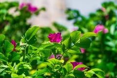 Τεμάχιο ενός πολύβλαστου rosehip θάμνου, που στερεώνεται πλουσιοπάροχα με τα ρόδινα λουλούδια κάτω από το χρυσό φως του ήλιου Αγά στοκ εικόνα