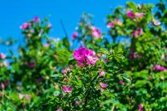 Τεμάχιο ενός πολύβλαστου rosehip θάμνου, που στερεώνεται πλουσιοπάροχα με τα ρόδινα λουλούδια κάτω από το χρυσό φως του ήλιου Αγά στοκ εικόνες
