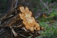 Τεμαχισμένο δέντρο με το φλοιό αποφλοίωσης στοκ εικόνες με δικαίωμα ελεύθερης χρήσης