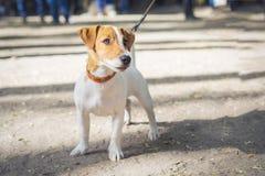 Τεριέ Jack Russell σκυλιών στο περιλαίμιο στο πάρκο το καλοκαίρι στοκ εικόνες