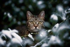 Τιγρέ κοιτάζει επίμονα μέσω του χιονώδους Μπους στοκ εικόνες με δικαίωμα ελεύθερης χρήσης