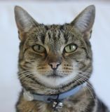 Τιγρέ πορτρέτο γατών στοκ εικόνες