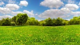 Τομέας με τις κίτρινους πικραλίδες και το μπλε ουρανό στοκ εικόνες