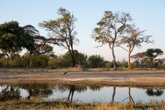 Του δέλτα τρύπα ποτίσματος της Μποτσουάνα Okavango στοκ φωτογραφία