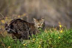 Του χωριού γάτα απομονωμένος στοκ φωτογραφίες