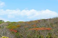 Τοπίο των κόκκινων ανθίζοντας δέντρων μπροστά από το μπλε ουρανό στο νησί του Μπαλί στοκ εικόνες