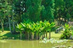 Τοπικός ενδημικός δέντρων νερού μπανανών από τη Βραζιλία με το παρόμοιο φύλλο στοκ φωτογραφία