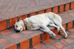 Το άσπρο σκυλί με το κόκκινο περιλαίμιο κοιμάται στα σκαλοπάτια στοκ εικόνα με δικαίωμα ελεύθερης χρήσης
